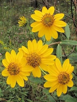 Whorled sunflower (Alan Cressler)