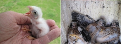 Kestrel chicks in two boxes
