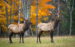 Two Michigan elk standing in front of maples afire with fall foliage.